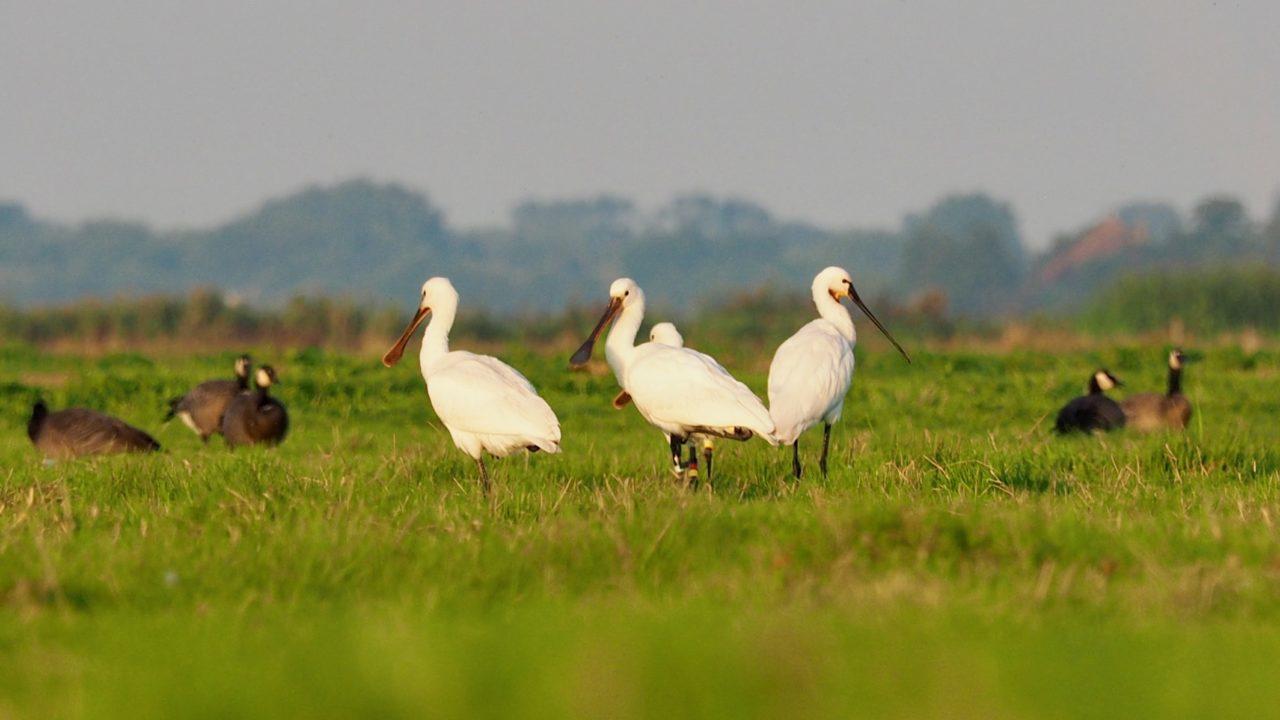 vogeltocht Waterland lepelaars
