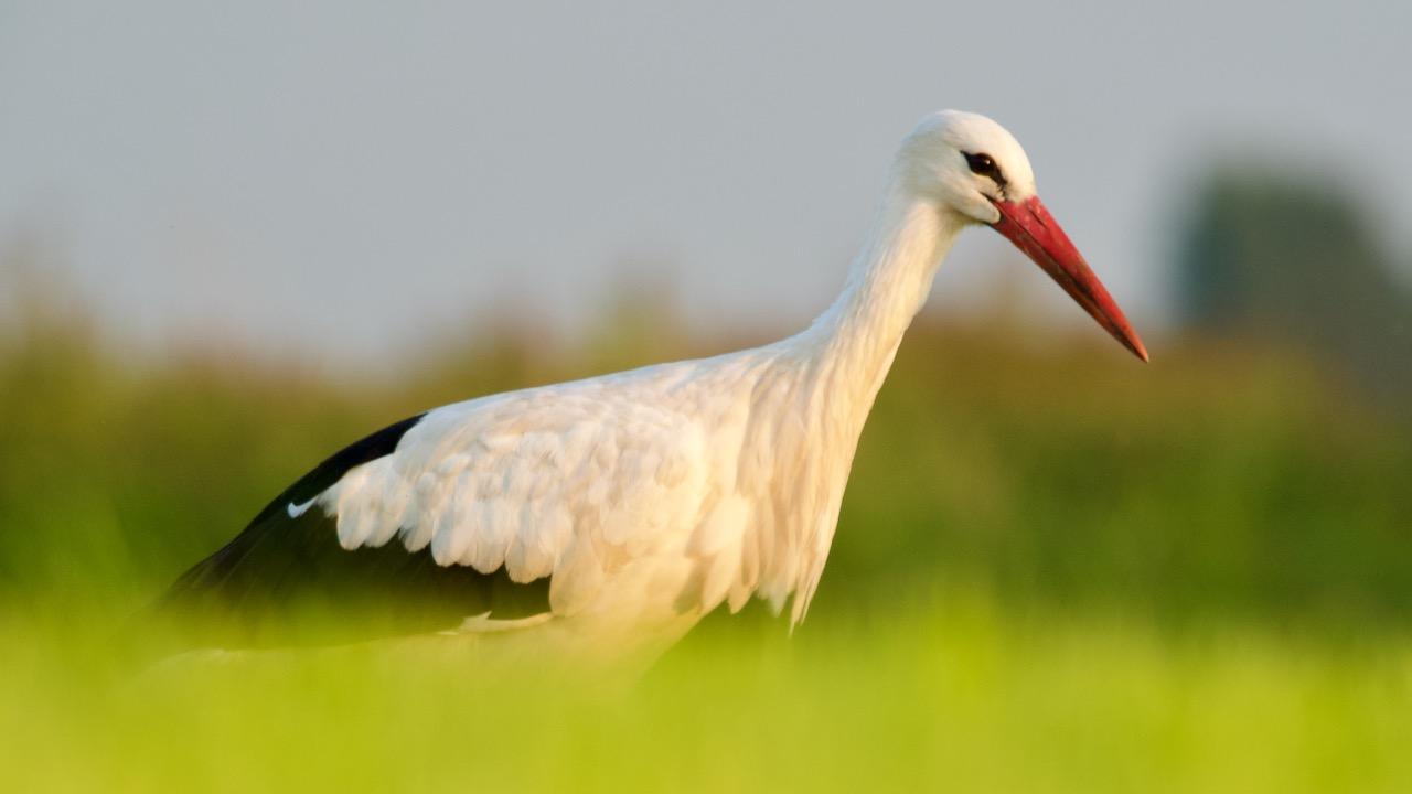 vogeltocht waterland Ooievaar